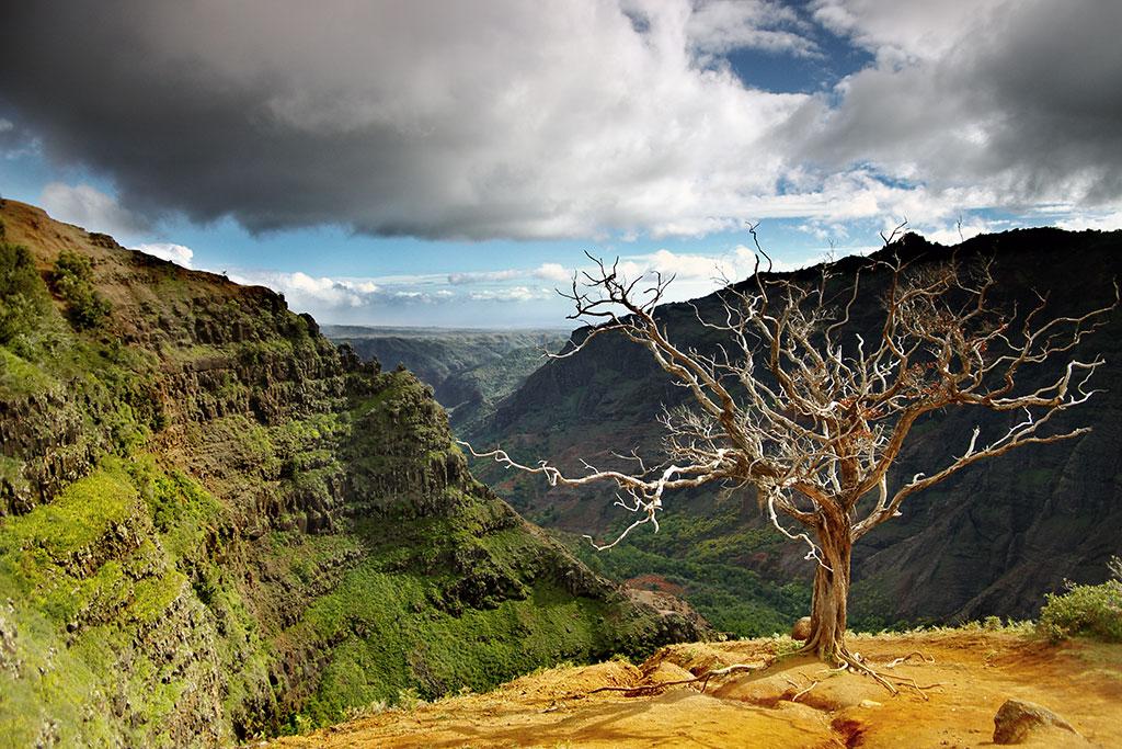 Dead Tree At Waimea Canyon