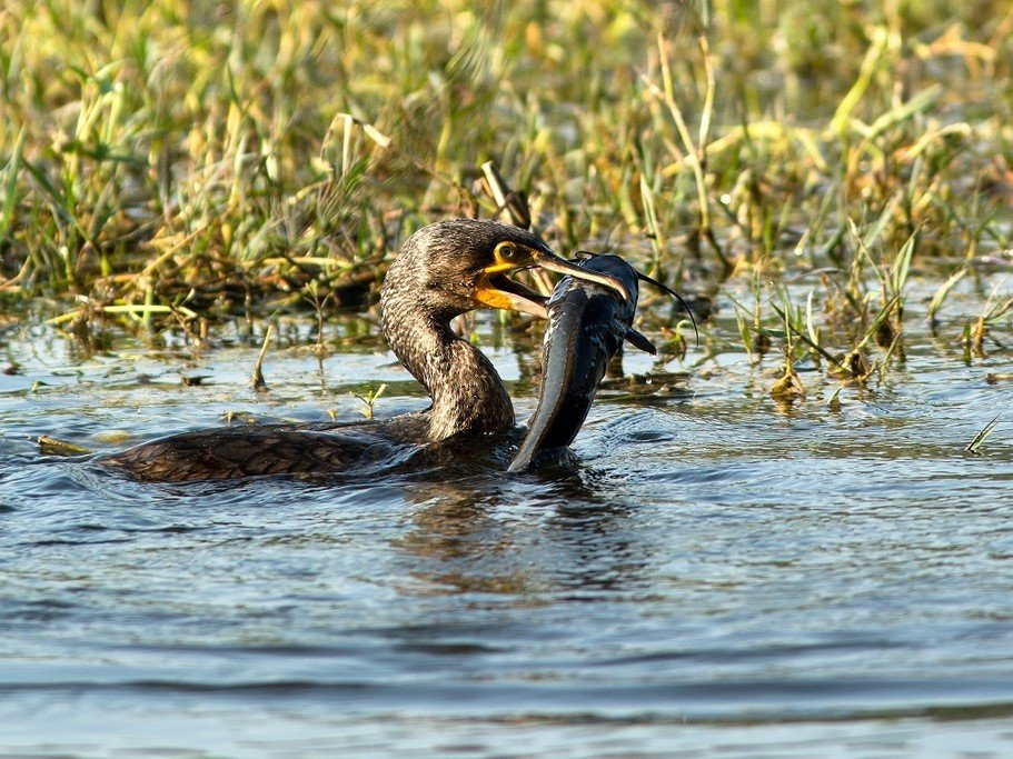 A Great Cormorant (Phalacrocorax carbo) is a common sight in the park. You are likely to see many species of birds on this day of the trip.