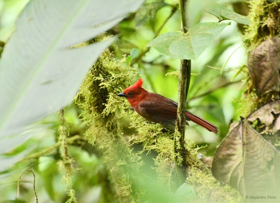 Crested Ant-Tanager