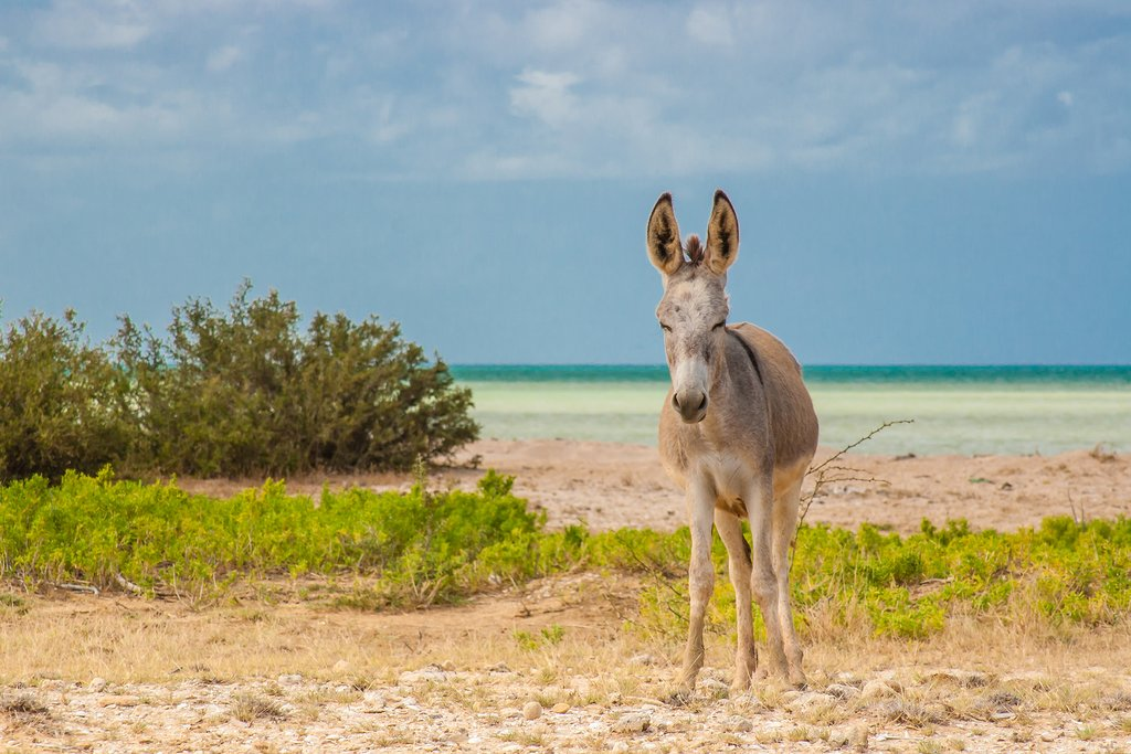 A donkey on the beach at Cabo de la Vela.