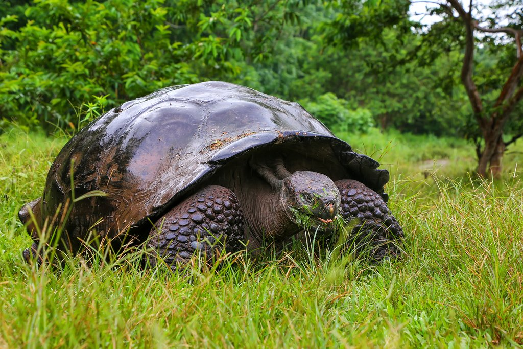 Giant tortoise on Santa Cruz Island