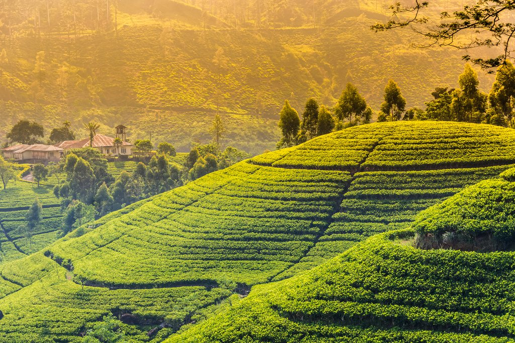 Tea plantation near Hatton