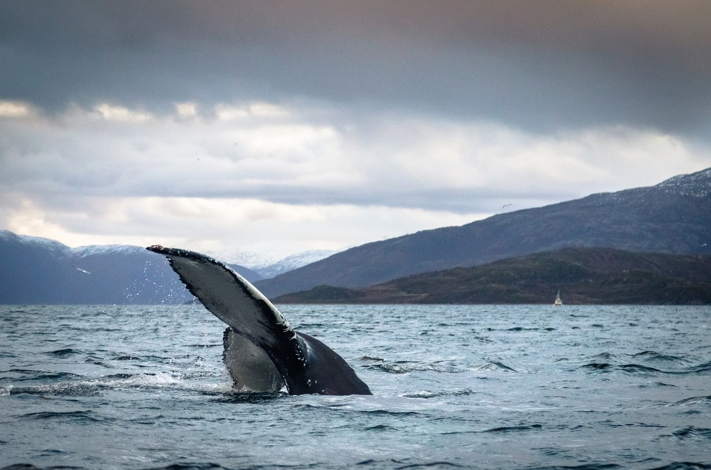 Humpback Whale fluke or tail, in ocean in Tromso, Norway. Many Humpbacks are here in wintertime, hunting for Herring to eat.