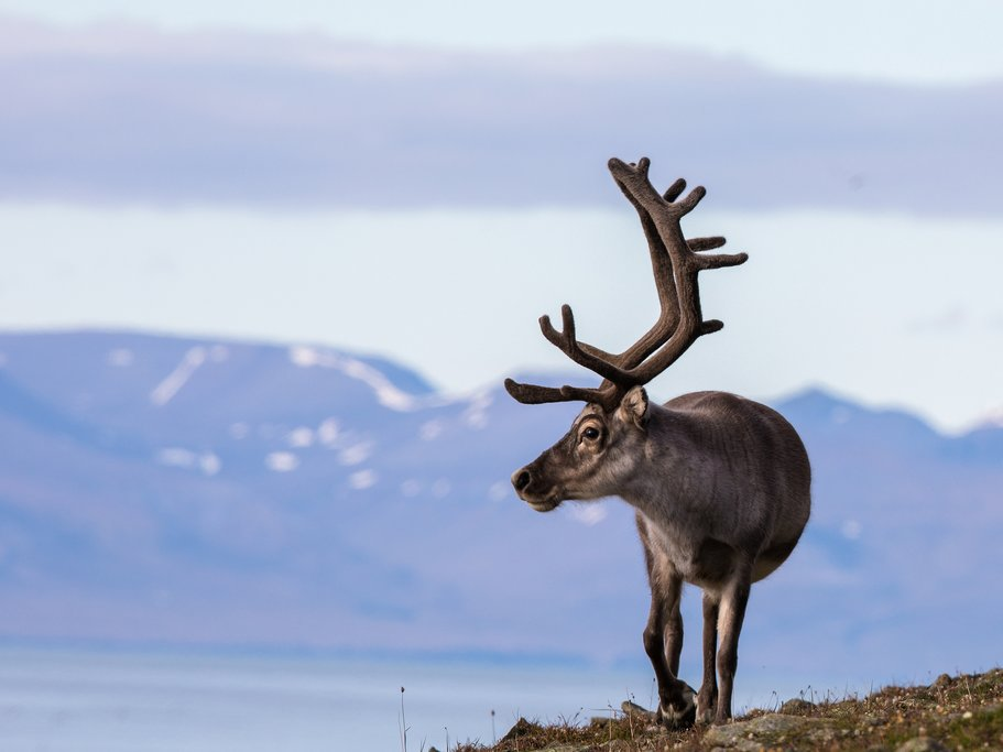 A reindeer looks out over the landscape in Svalbard