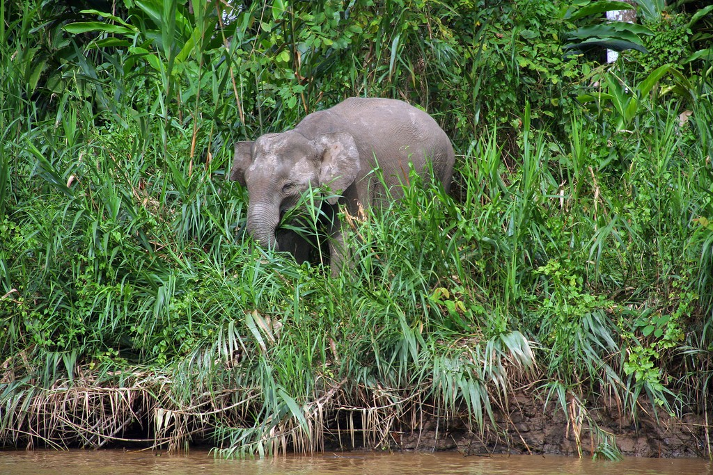 Baby Pygmy elephant on the riverbank