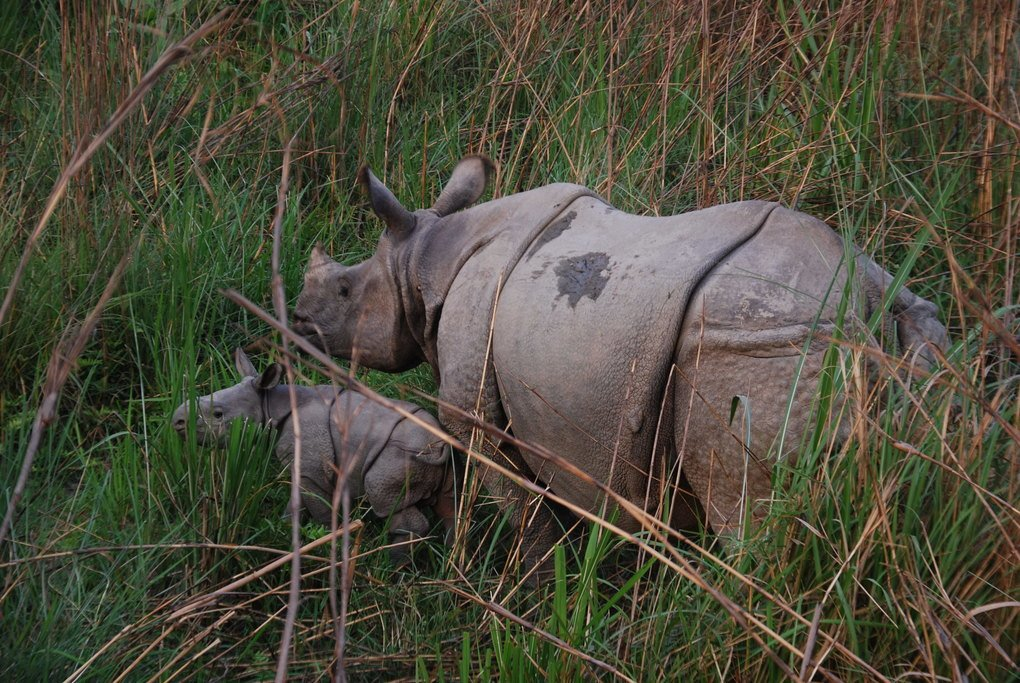 Greater one-horned rhinoceros and calf
