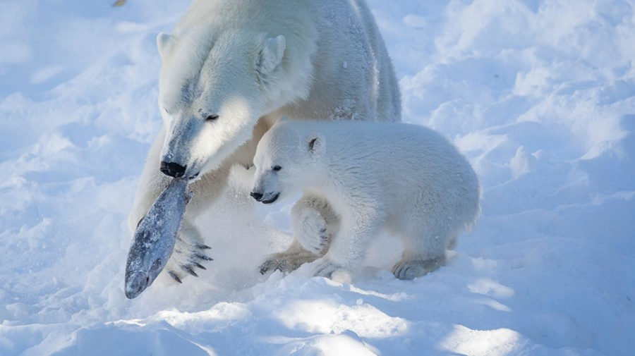Polar bears hunting for food
