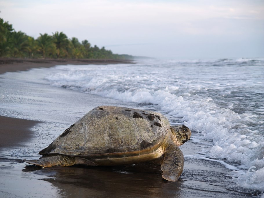 Turtle coming ashore to lay eggs on the beach in Parque Nacional Tortuguero