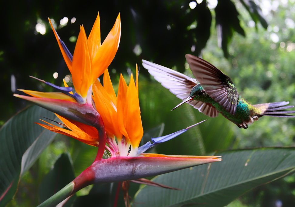 Hummingbird visits a Bird of Paradise flower in paradise