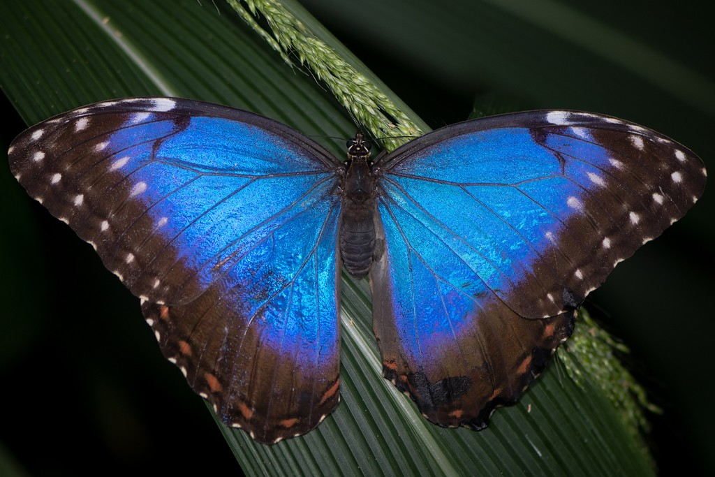 Many animals in the Amazonian rainforest exhibit dazzling colors, like this Blue Morpho Butterfly