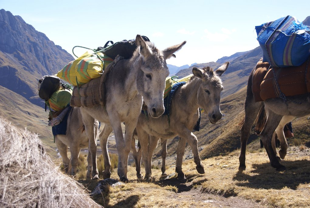 Pack mules, Peru