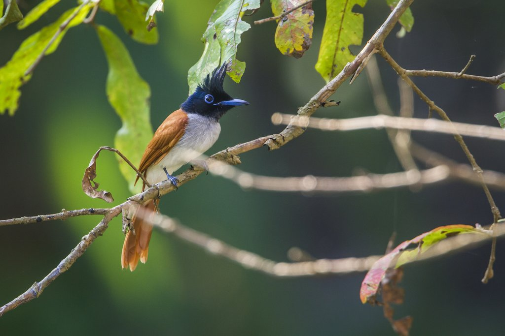 Asian Paradise Flycatcher, Bundala National Park