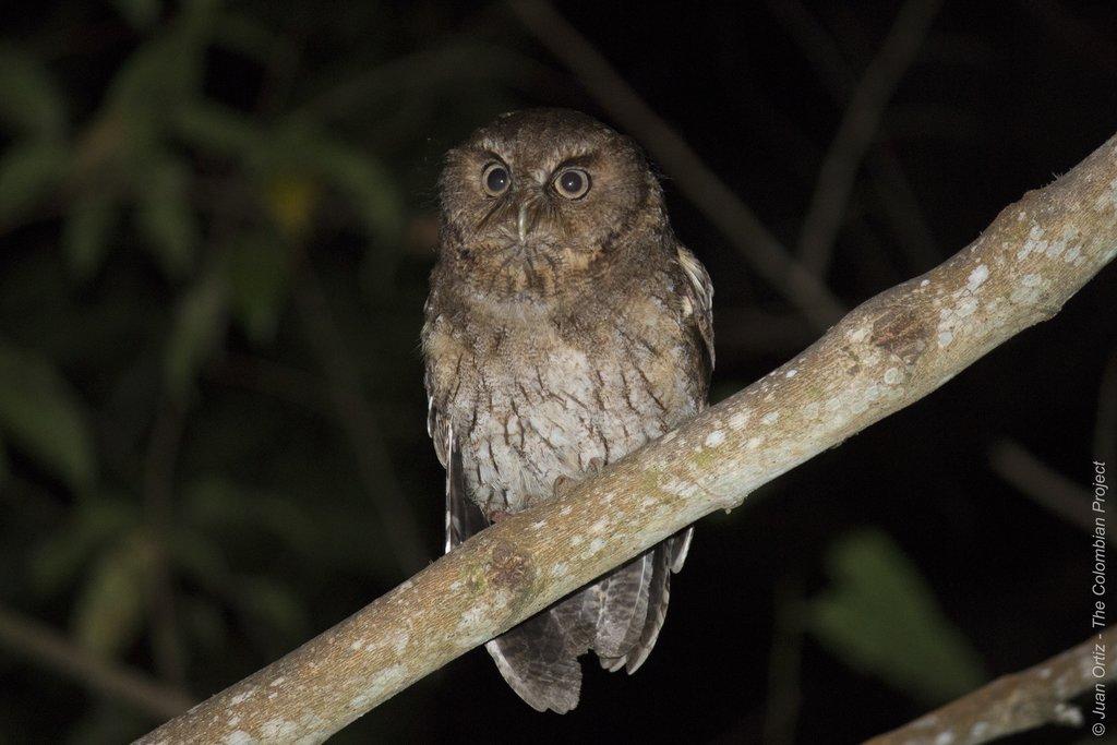 'Santa Marta' Screech-Owl.