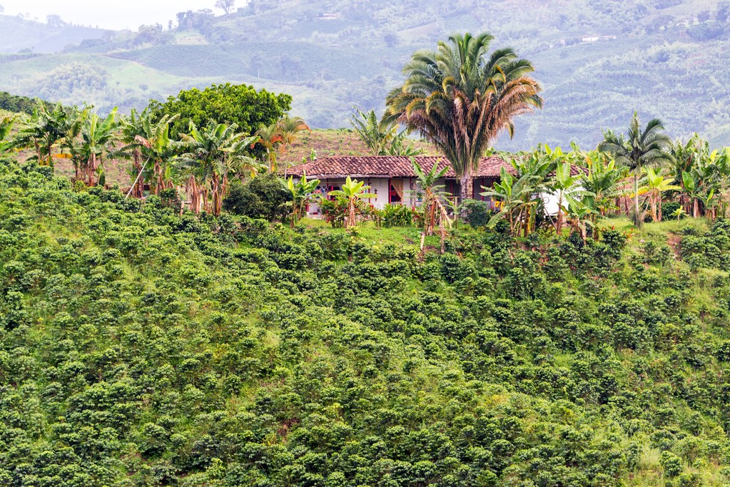 A traditional coffee farm in the Zona Cafetera.