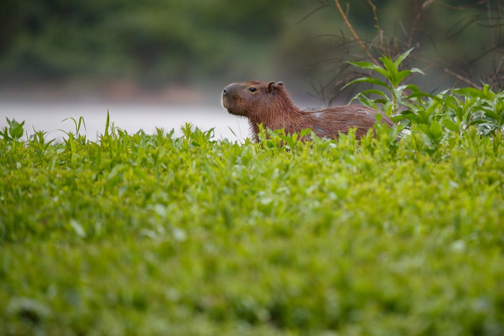 Capybara in northern Pantanal