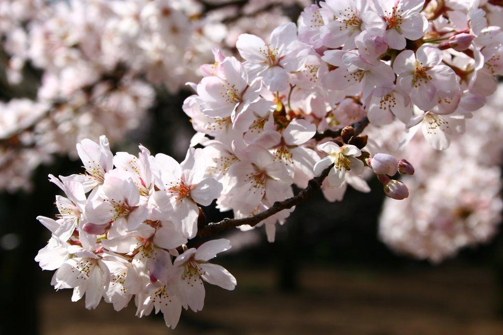 Sakura cherry blossoms in Shinjuku Gyoen National Garden, Tokyo