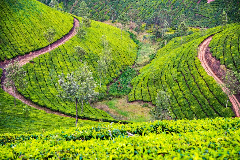 A tea plantation in Munnar