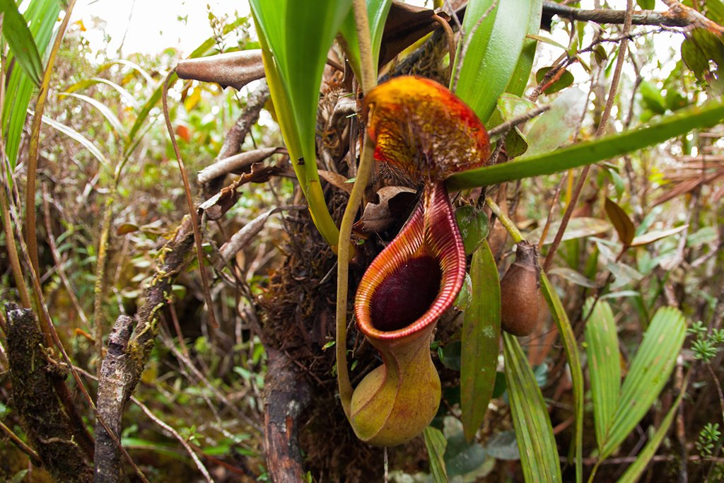 The nephenthes or pitcher plants in Trusmadi