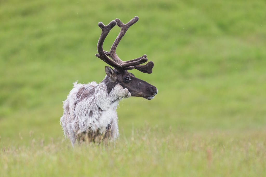 Keep an eye out for wild reindeer.