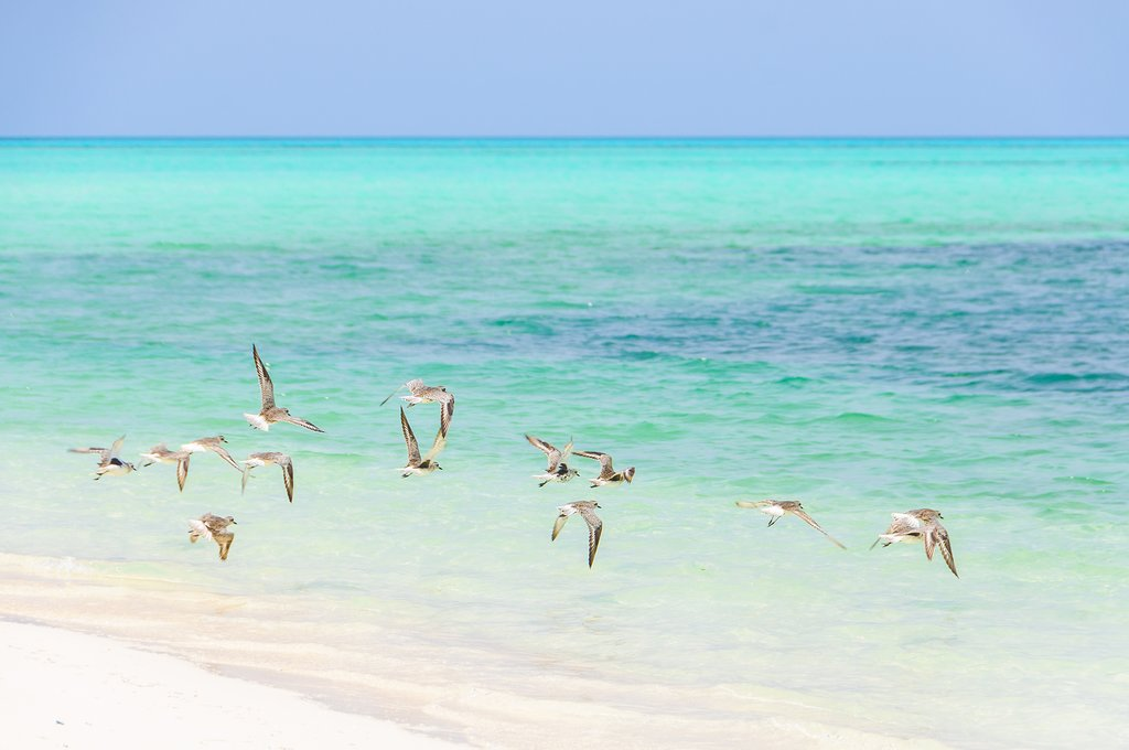 Birds on the beach at Cayo Levisa
