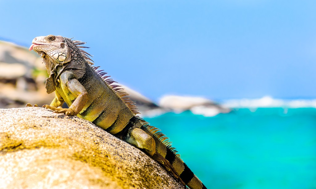 One of Tayrona's year-round residents.