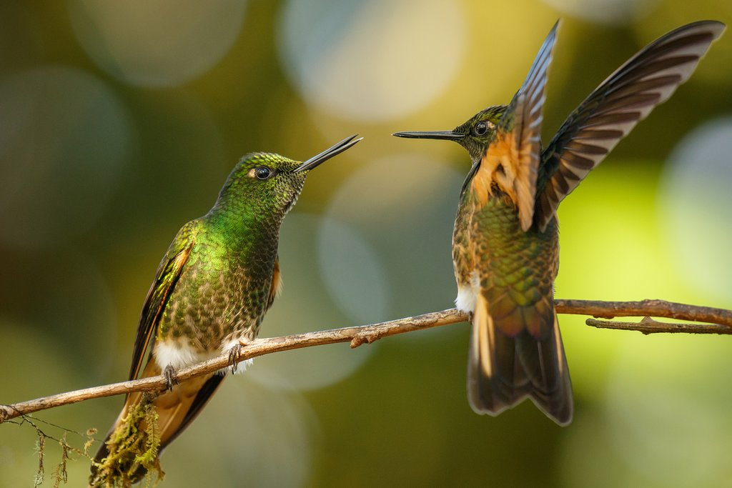 Buff-tailed coronet hummingbirds in Mindo