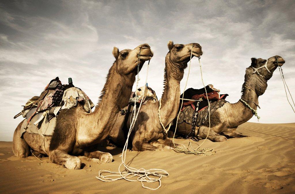 Camels in the Thar Desert