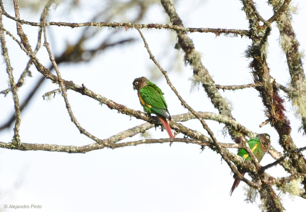 Brown-breasted Parakeet.