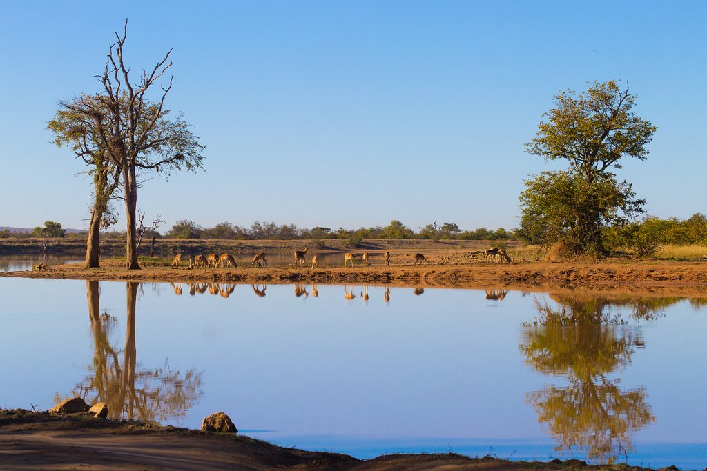 Impala herd grazing in Kruger National Park.
