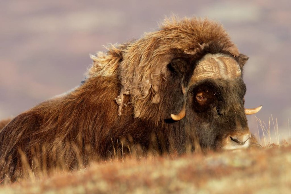Norway's famous musk ox
