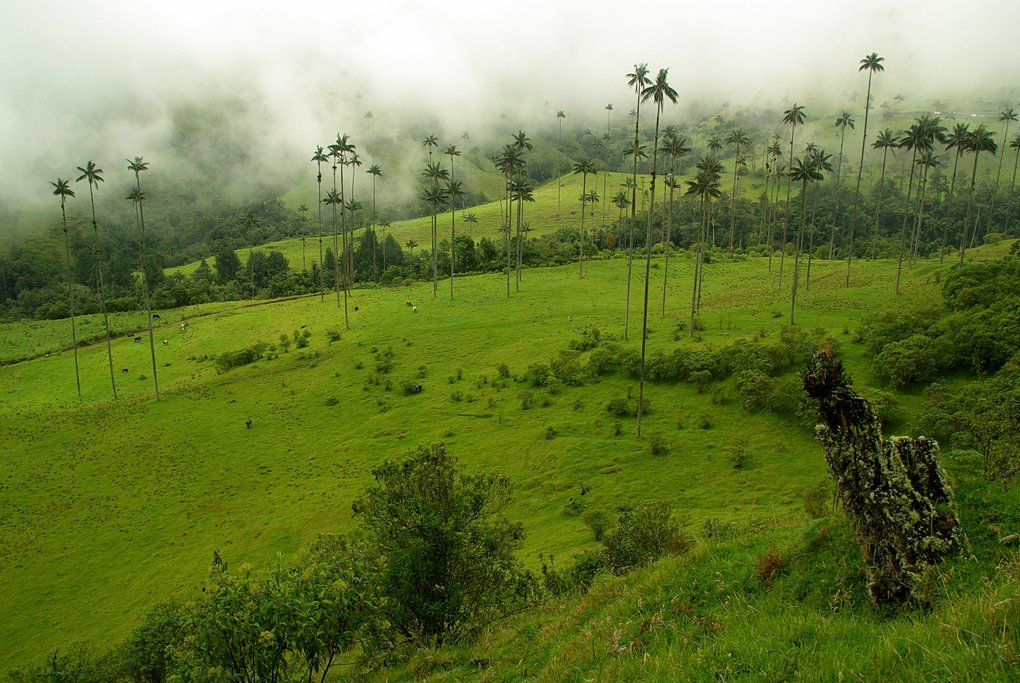 Wax palms in the coffee region of Colombia's highlands