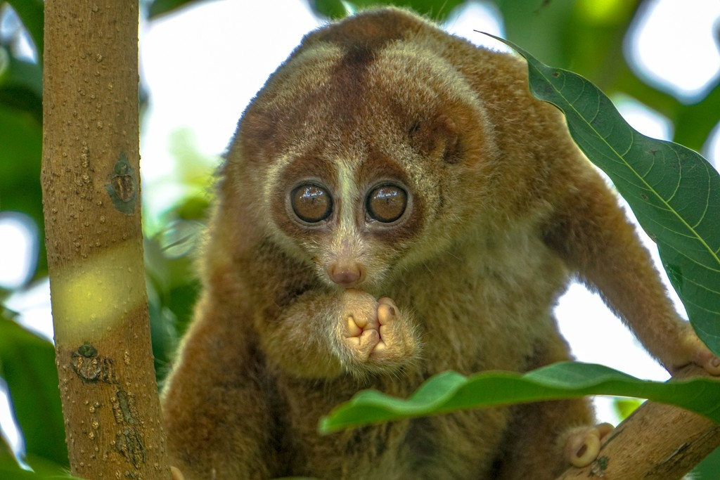 The Slow Loris, one of many species inhabiting the Malaysian rainforest