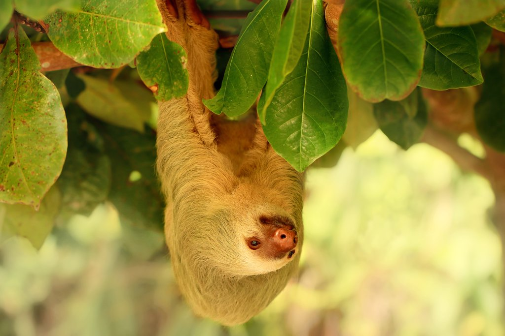 Sloth in Cahuita National Park
