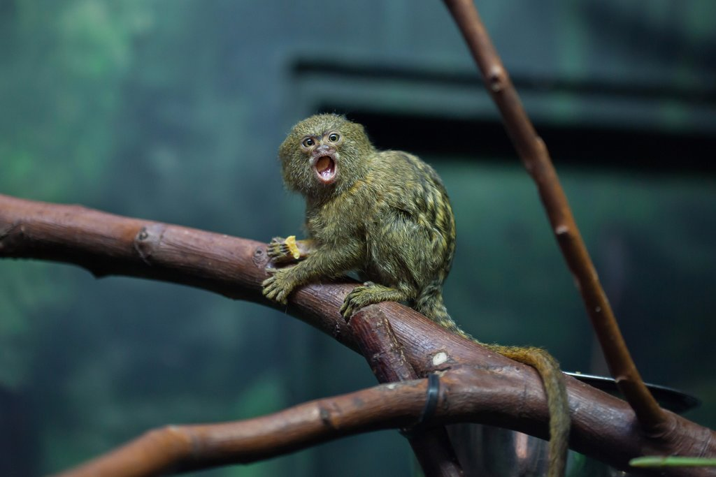 The pygmy marmoset is just one rare animal you could spot in Peru