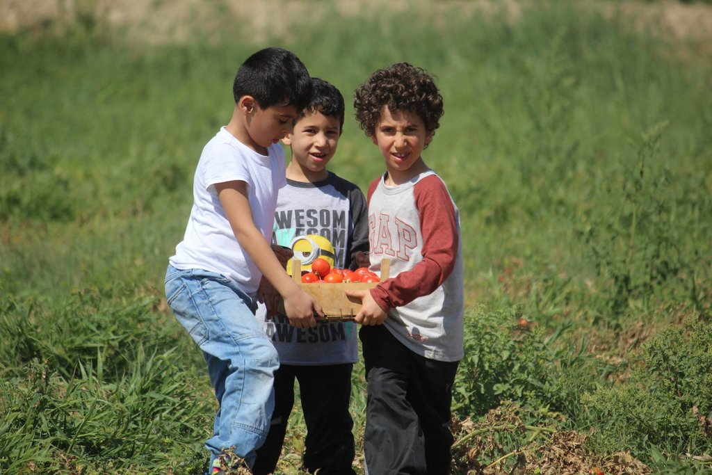 Children help with the tomato harvest in the Jordan Valley