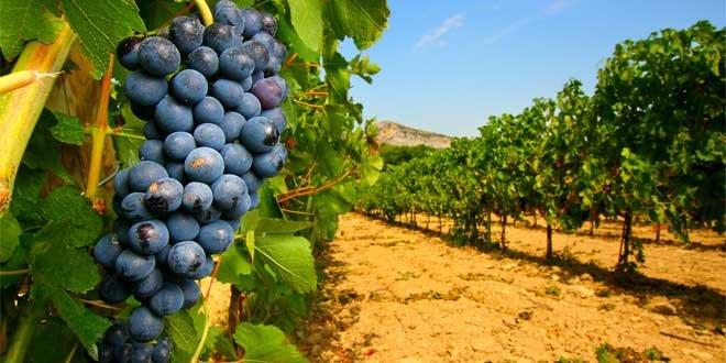 Vineyards of the Rhône Valley