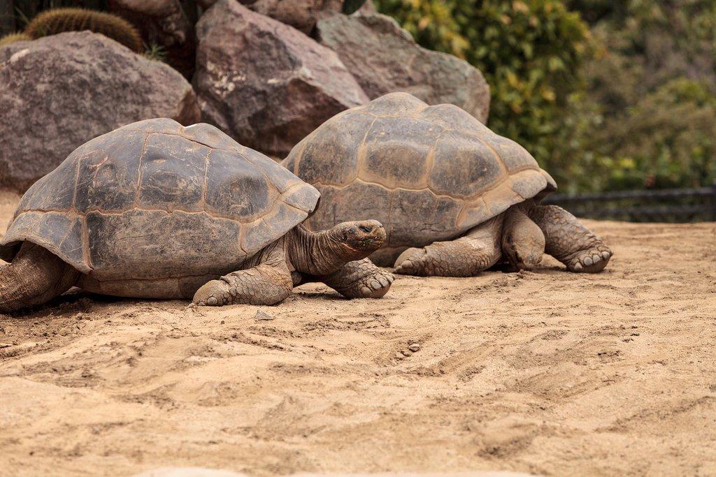Galapagos Island giant tortoises