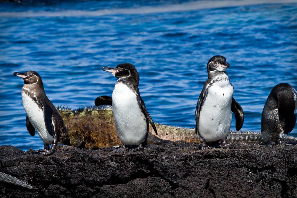 The Galapagos penguin is the only penguin found north of the Equator.