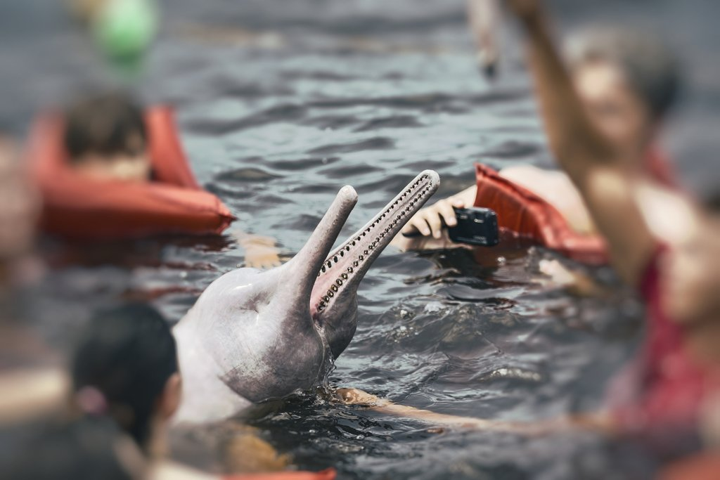 Feeding pink dolphins in Brazil