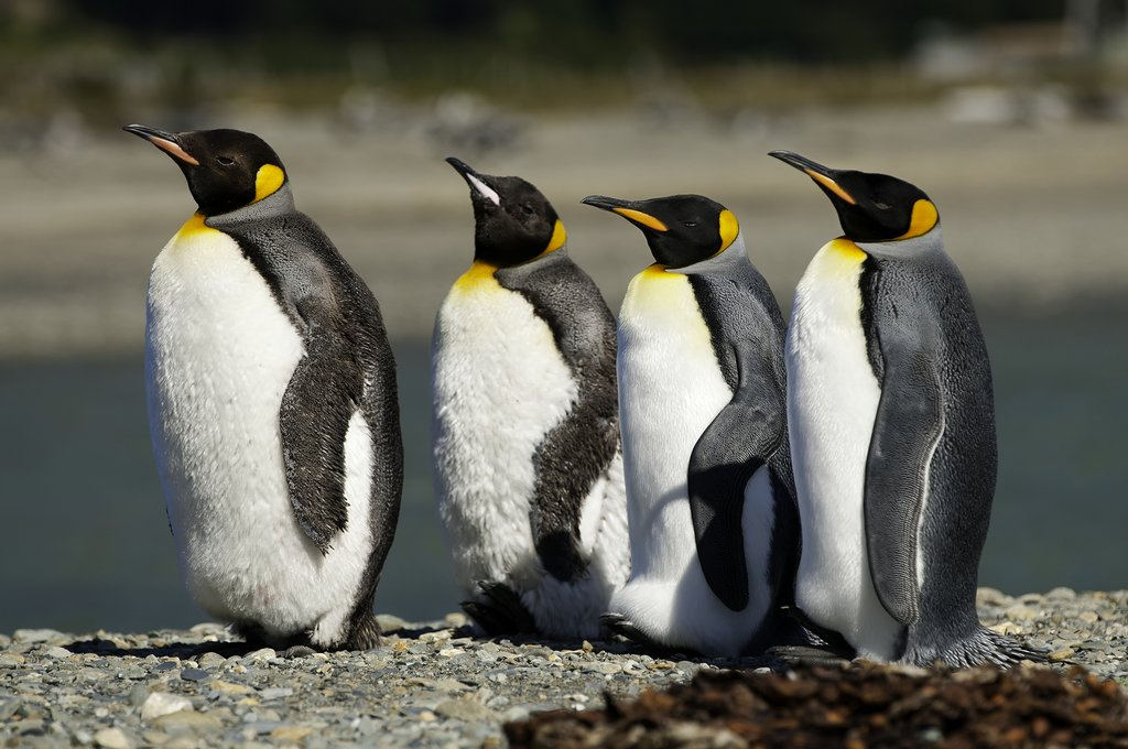 Chile's penguins