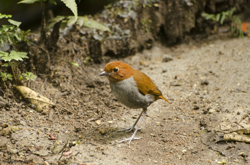 Bi-coloured Antpitta.