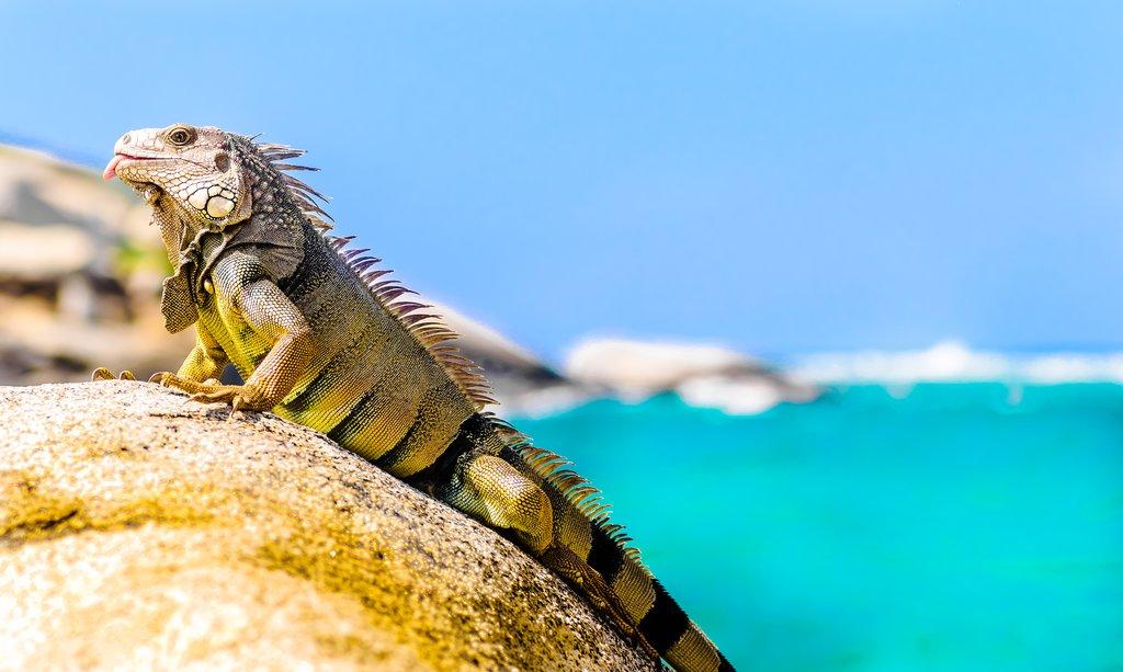 Iguana on a rock in Tayrona National Park