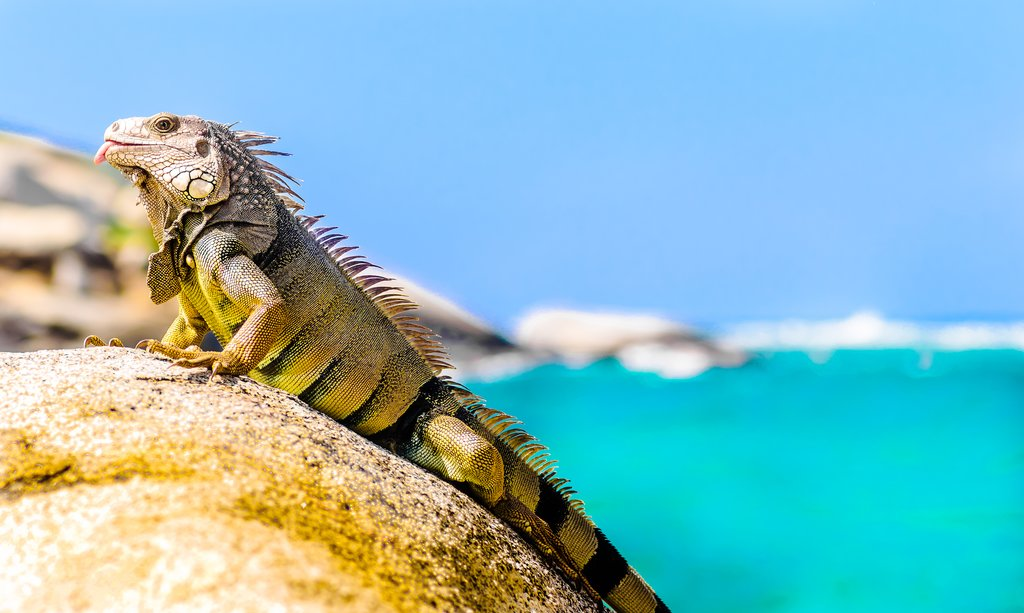 Iguana in Tayrona national park