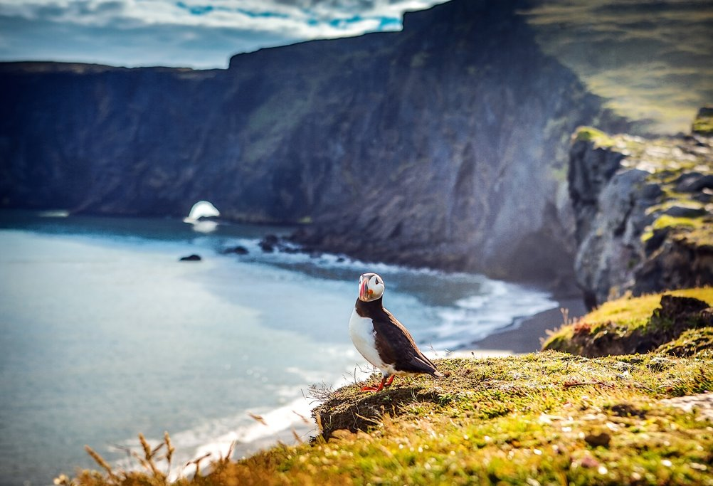 Puffin on the Cliffs