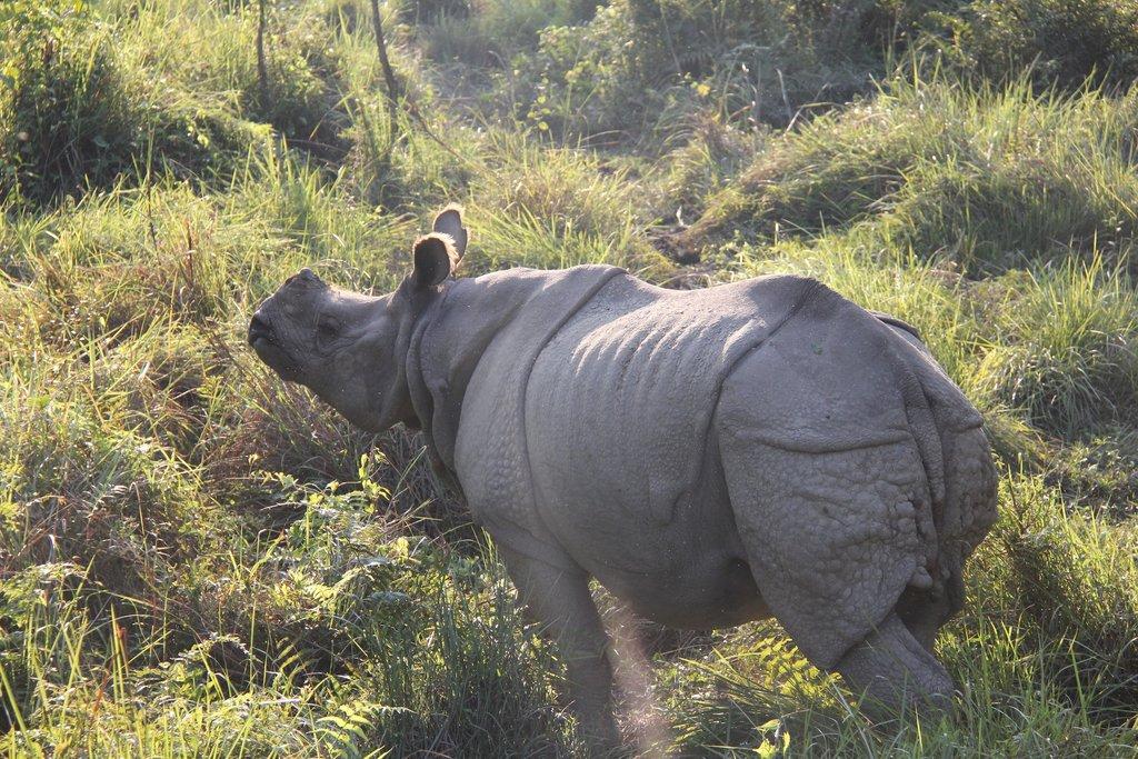One-horned rhinoceros in Bardia National Park