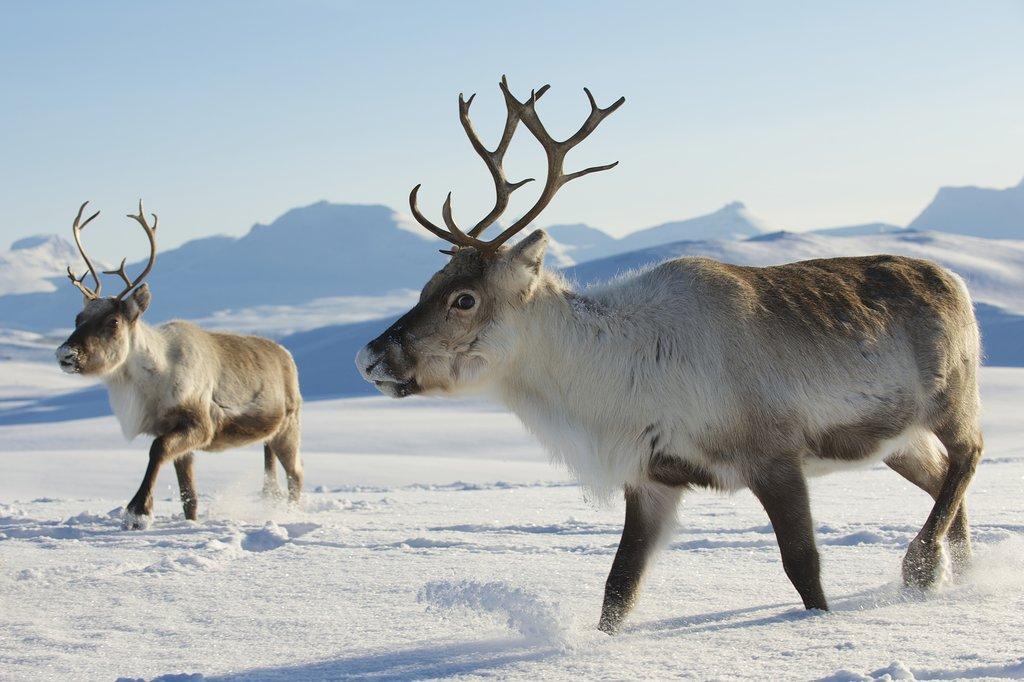 Reindeer near Tromsø area