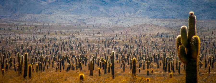Field of Cardon Grande Cacti
