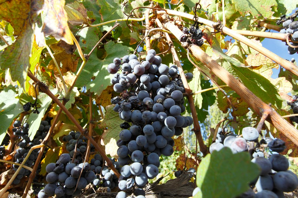 Malbec grapes on the vine, Mendoza.