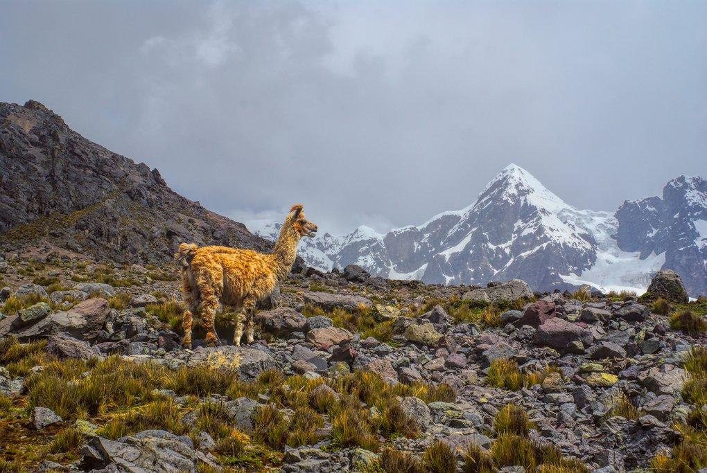 Lone llama