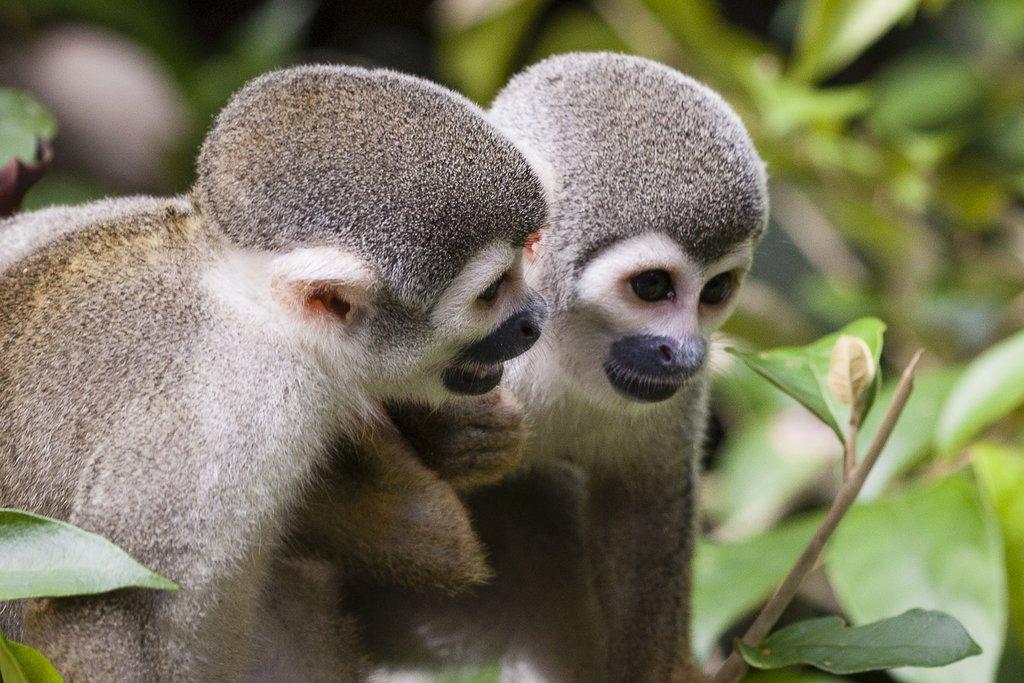 Monkeys in Ecuador